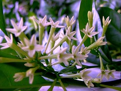 SOLANACEAE 茄科 - Night-blooming Jasmine (Cestru...
