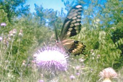 giant swallowtail on thistle (gurdonark) Tags: nature texas wildlife north prairie wildflower