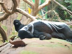 2010-06-20 Father's Day @ the Mn Zoo 363 (puckster55pics) Tags: bestshot blackandwhitecolobusmonkey tropicstrail 20100620fathersdaythemnzoo