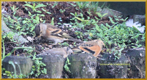 Brambling Pair 2