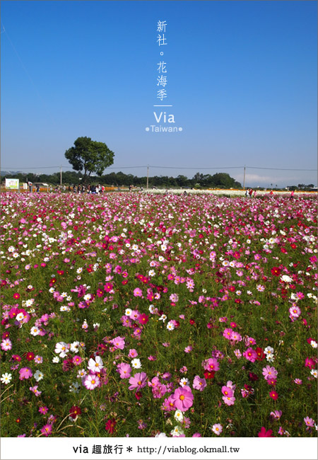 【2010新社花海】via帶大家欣賞全台最美的花海!10