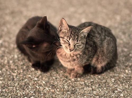 フリー写真素材, 動物, 哺乳類, ネコ科, 猫・ネコ, カップル (動物),