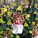 orchids_Colmanara Wildcat Yellow Butterfly 012