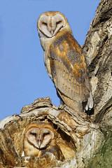 "Siblings (dcstep) Tags: treehole owl owlet barnowl perched commercecity colorado unitedstates us barrlakebarrlakestateparkcanon5dmkivef500mmf4lisiief20xtciii1 000mmhandheldallrightsreservedcopyright2017davidcstephensdxoopticspro114naturebird 1000mm handheld ""all rights reserved"" ""copyright 2017"" ""david c stephens"" ""dxo optics pro 114"" nature bird n7a0646dxo siblings getty ecoregistrationcase15586202651"