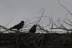 Ever watchful (Anxious Silence) Tags: animal architecture bird birds blackandwhite building corvid crow jackdaw marwellzoo nature places roof silhouette wildlife
