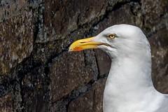 Seagull (_John Hikins) Tags: sea seaside seagull cornwall bird gull animal nikon nature nikkor 18300mm 18300 d5500 head portrait