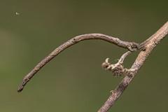 尺蛾幼蟲 (Sam's Photography Life) Tags: 生態 自然 昆蟲 微距 百微 攝影 1dx 100mm 1d marco mraco nature 蛾