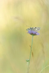 1st Prize - Marbled White by Victoria Hillman (BC HQ) Tags: bigbutterflycount butterflycount photographiccompetition photographic photograph competition butterflyconservation butterfly butterflies flower flowers winners marbledwhite