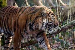 spirit of the tiger (rondoudou87) Tags: pentax parc zoo reynou smcpda300mmf40edifsdm sauvage tiger tigre tigré sumatrantiger wildlife wild nature natur