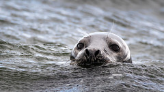 Inquisitive Seal (Ginger Snaps Photography) Tags: seal sealife wild wildlife nature water eyes