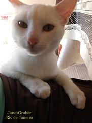 Colo (Janos Graber) Tags: gata branca felino animal colo araruamarj araruama