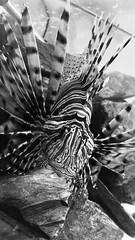 Lion fish (flowergirlaaa) Tags: 7daysofshooting 7dos water black white bw lionfish fishtank 7dwf week52 blackandwhitewednesday