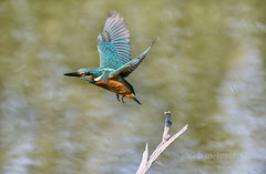 alcedo atthis (Josep M.Toset) Tags: animalia aus aves alcedinidae alcedo blauet catalunya d500 nikon fauna chordata coraciiformes ribera·debre ocells ocell·aquàtic aerodinàmic tamron150600mm