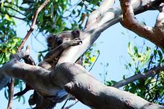 sleeping koala (Leonard J Matthews) Tags: sleep sleeping cling clinging tree gumtree branch limb koala nature creature environment creation mythoto noosaheads queensland australia
