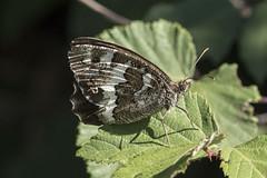 Silène (Brintesia circe) (mhyrdin) Tags: butterflies papillons rhopalocères laclape aude