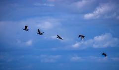 Five Birds (Jonathan Simonsen) Tags: birds five inline line nature ocean sky black big denmark canon landscape explore beautiful flickr july 2017 natureofbirds