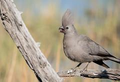 Grey go-away-bird (dunderdan77) Tags: bird animal pilanesberg nikon tamron wildlife nature outdoor park south africa safari sunrays5