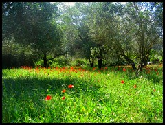 Poppies landscape. (konstantynowicz) Tags: summer sunshine landscape greece poppies copse mygearandme mygearandmepremium mygearandmebronze mygearandmesilver