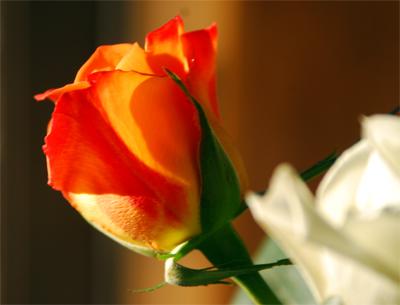 Rose-Glow