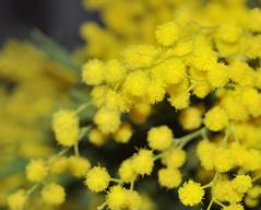Sense of Spring (ceca67) Tags: flowers macro yellow closeup mimosa legacy ceca coth5