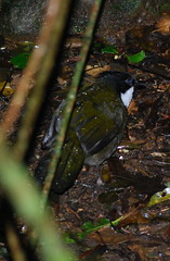 Eastern Whipbird 3 (tkmckinn) Tags: birds australia july09