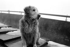 微波站--黃金獵犬 (gg-yang) Tags: leica bw mp 黑白 n1 trix400 leicamp xtol1112min 大雪山遊樂區 elmarit28mmf28ii 小雪山 微波站