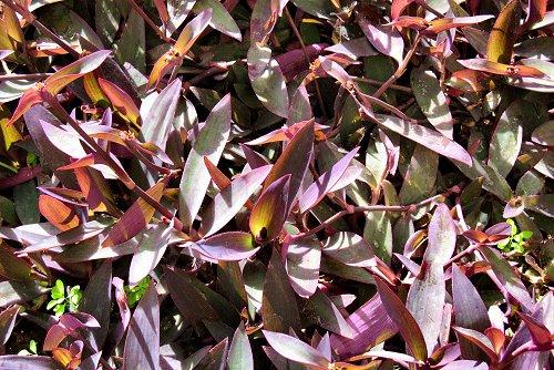 Tradescantia pallida var. purpurea (rq) - 03