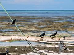 three crows (daniel.virella) Tags: ocean africa blue sea sky clouds tanzania boats indianocean sail zanzibar lowtide crows rasnungwi