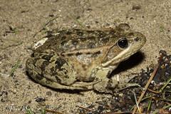 California Red-legged Frog (Rana draytonii) (aliceinwl1) Tags: amphibia amphibian anura ca california californiaredleggedfrog chordata esa endangeredspeciesact rana ranaauroradraytonii ranadraytonii ranidae santabarbaracounty threatened truefrog draytonii herp listed locnoone threatenedspecies viseveryone