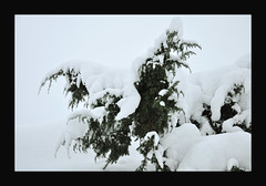 Brakebusk (-Kj.) Tags: christmas winter white snow green border juniper cloaked