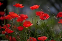 Poppies (Johan Grobbelaar) Tags: red flora poppy