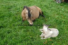 lzmanggeb(52) (Lothar Lenz) Tags: horse caballo cheval weide cavalo pferd hest equus paard geburt hst fohlen hestur stute konj hobu zirgs mangalargamarchador gangpferd fohlenbeifuss fotopferdefotoarchivdefeige gangpferdezuchtlimbacherhof fohlenfelicidadevonlimbach