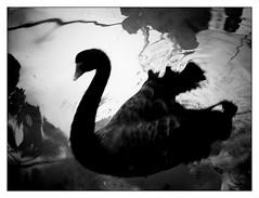 The Nereid Ino, transformed into a bird, helps Odysseus. / La Nereida Ino, transformada en ave, ayuda a Odiseo. (Armando Alvarez) Tags: blackandwhite bw naturaleza classic blancoynegro nature mexico greek poem arts guadalajara jalisco literature greece grecia homer artes epic mythology homero greekmythology literatura nereid clsico poema odysseus mitologia ulises odiseo armandoalvarez theodyssey nereida pica laodisea mitologiagriega