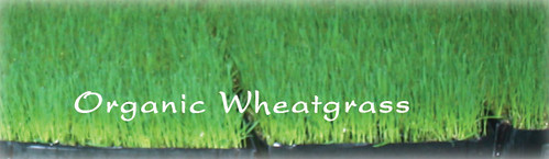 organic-wheatgrass-at-DADA-Kafe Chiang Mai