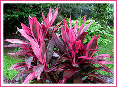Cordyline terminalis or C. fruticosa shrub (hot pink/purplish maroon) at Sungai Klah Hot Springs Park, Sungkai