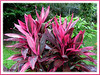Cordyline terminalis 'Red Sister' / syn.: C. fruticosa (Hawaiian Ti, Ti Plant, Good Luck Plant/Tree)