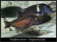 tropheus moorii_800_01 (Bruno Cortada) Tags: malawi marino mbunas cclidos sudafricanos tanganyica