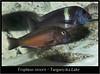 tropheus moorii_800_01 (Bruno Cortada) Tags: malawi marino mbunas cíclidos sudafricanos tanganyica