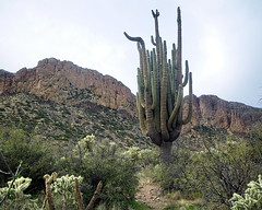 50 in 1 Saguaro - Superstition Wilderness (Al_HikesAZ) Tags: county arizona cactus mountains cacti landscape hiking nationalforest trail backpacking wilderness saguaro cactaceae tonto superstition hikes supes superstitions maricopa superstitionwilderness maricopacounty carnegieagigantea unature azhike alhikesaz arizonamemoryproject 50in1 earthnaturelife charleboisloopii charleyboyduece bluffspringtrail cereusgiganteusengelm 50in1saguaro labargespring