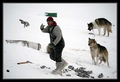 Feeding The Dogs (Kiddi Einars) Tags: dog snow cold dogs feeding greenland kalt dogsledding hundur snjr grnland icecold sisimiut sledgedogs grnland fa sleahundur