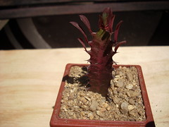 DSCN0027 (Maria luisa y sus cactus) Tags: cactus y otros mis interesantes injertos