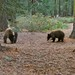 Bears By Our Campsite in Yosemite National Park