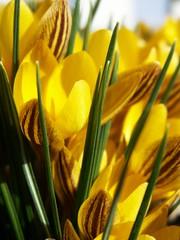 yellow crocus collection :: March 21st 2009 (martinalinnea) Tags: yellow crocus krokus springbulbs