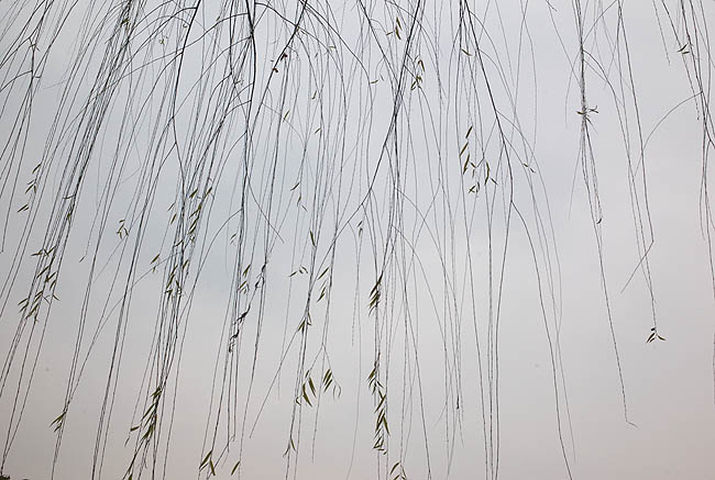 西湖樹05
