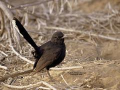 Cercotrichas podobe (CLICK GROUP   Moeen) Tags: nikon saudiarabia  d90 jazan gizan