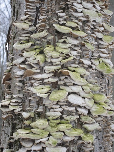 Arbre aux champignons