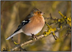 Chaffinch. (anthonynixon17) Tags: chaffinch sigma50500 brandonmarsh olympuse510