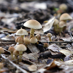 The march of the fungii.... (Ingrid Douglas Images - ART in Photography) Tags: fungi squareformat fungii cairnsimages ingridinoz perfectoartsdreamcaptures tropicalrainforestundergrowth naturesforestfloor naturalsurrounds wetmonsoonweatherincairns