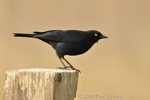 Brewer's blackbird ready for takeoff