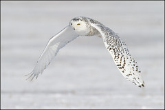 Owl (Snowy) - 1072 (Earl Reinink) Tags: flight raptor snowyowl snowyowlinflight earlreinink wwwearlreininkcom wwwipaintca